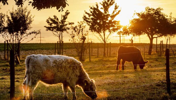 αγελάδες σε φάρμα της Γερμανίας
