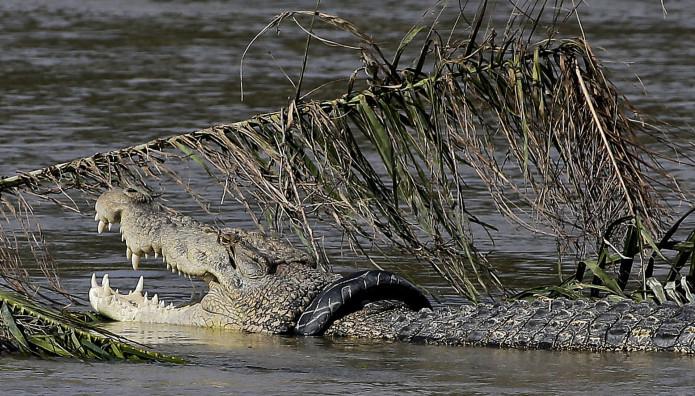 Κροκόδειλος στην Ινδονησία